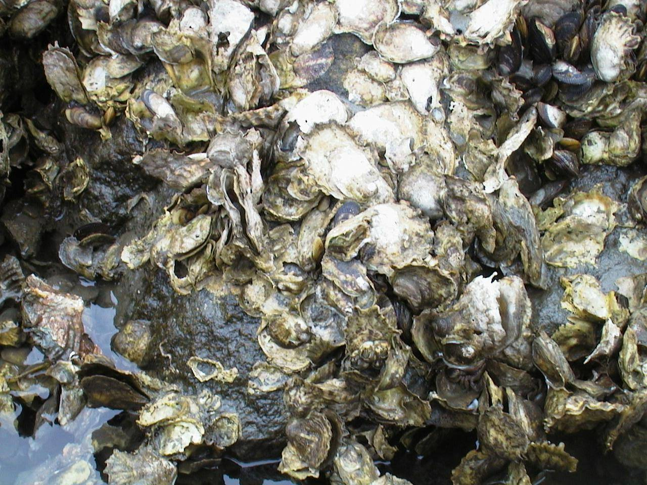 Natural Oyster Reef Preach It Oyster Man! ...